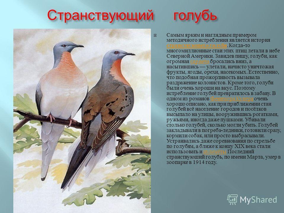 Странствующий голубь Самым ярким и наглядным примером методичного истребления является история странствующего голубя. Когда - то многомиллионные стаи этих птиц летали в небе Северной Америки. Завидев пищу, голуби, как огромная саранча бросались вниз,