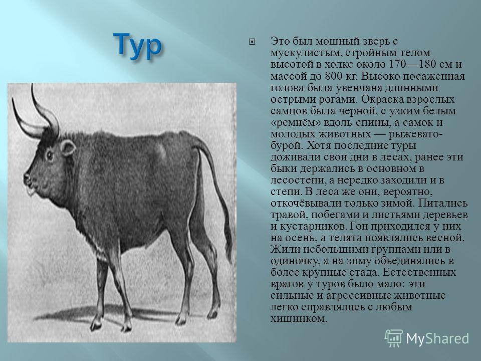 Это был мощный зверь с мускулистым, стройным телом высотой в холке около 170180 см и массой до 800 кг. Высоко посаженная голова была увенчана длинными острыми рогами. Окраска взрослых самцов была черной, с узким белым « ремнём » вдоль спины, а самок