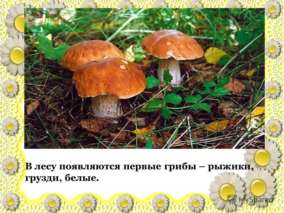 В лесу появляются первые грибы – рыжики, грузди, белые.
