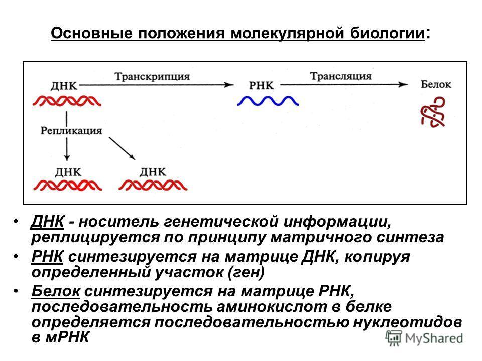Основные положения молекулярной биологии : ДНК - носитель генетической информации, реплицируется по принципу матричного синтеза РНК синтезируется на матрице ДНК, копируя определенный участок (ген) Белок синтезируется на матрице РНК, последовательност