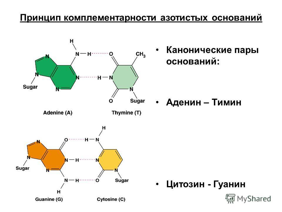 Принцип комплементарности азотистых оснований Канонические пары оснований: Аденин – Тимин Цитозин - Гуанин