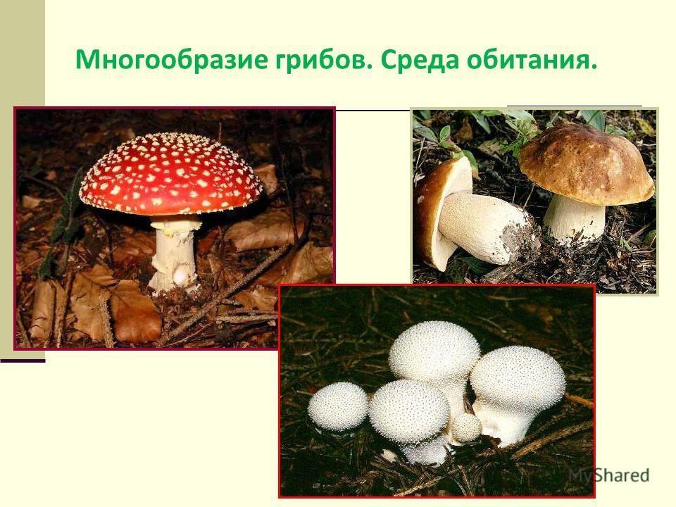Многообразие грибов. Среда обитания.