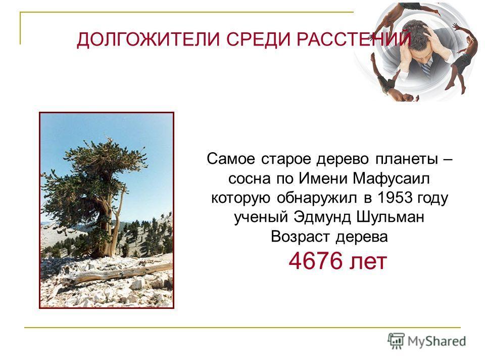 Самое старое дерево планеты – сосна по Имени Мафусаил которую обнаружил в 1953 году ученый Эдмунд Шульман Возраст дерева 4676 лет