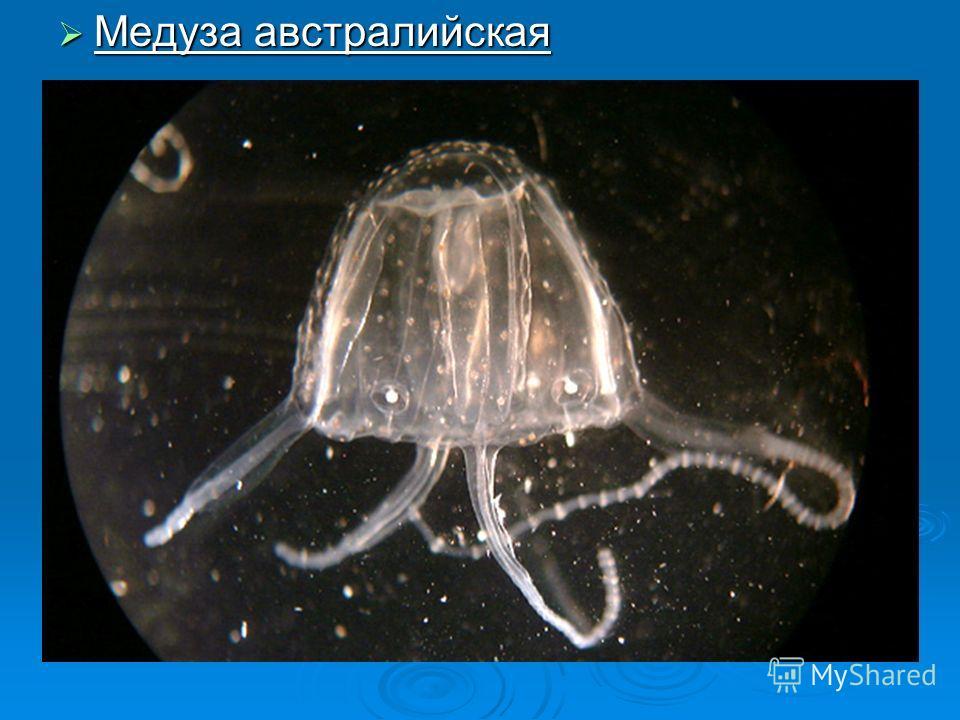 Медуза австралийская Медуза австралийская
