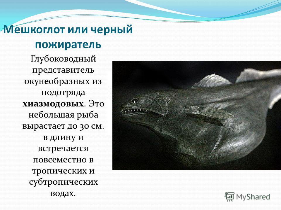 Мешкоглот или черный пожиратель Глубоководный представитель окунеобразных из подотряда хиазмодовых. Это небольшая рыба вырастает до 30 см. в длину и встречается повсеместно в тропических и субтропических водах.