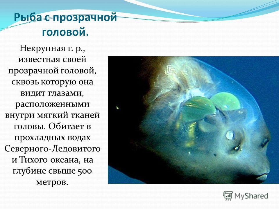 Рыба с прозрачной головой. Некрупная г. р., известная своей прозрачной головой, сквозь которую она видит глазами, расположенными внутри мягкий тканей головы. Обитает в прохладных водах Северного-Ледовитого и Тихого океана, на глубине свыше 500 метров
