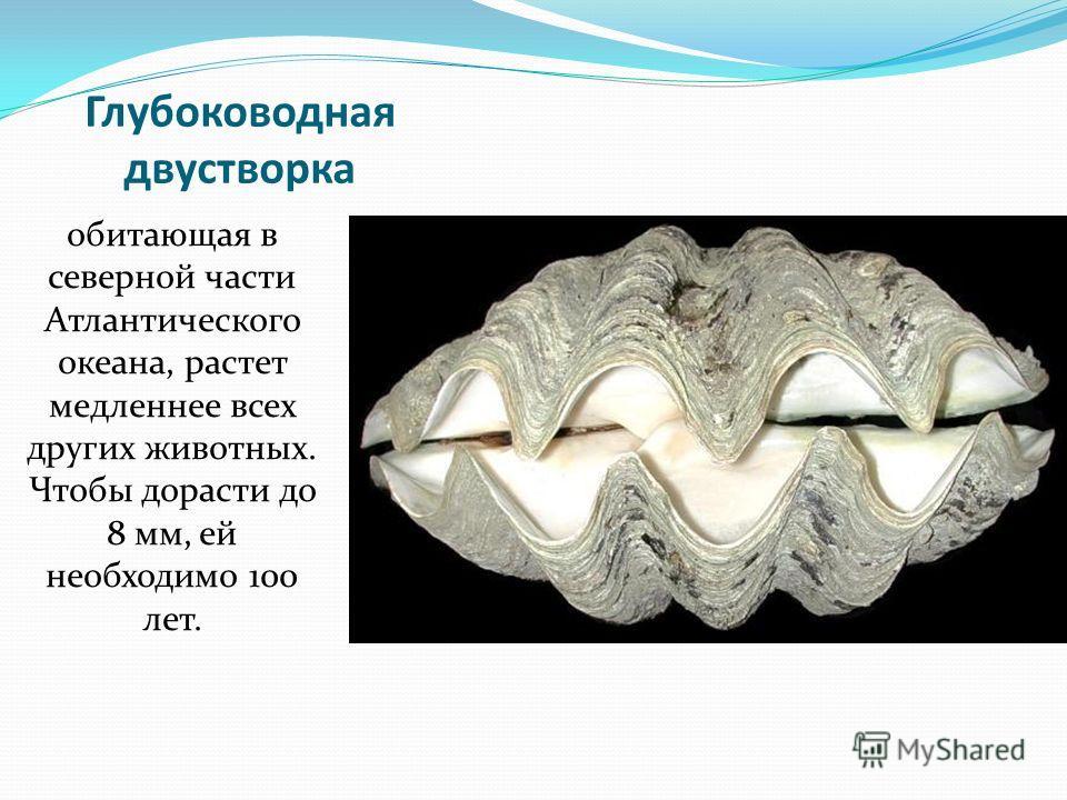 Глубоководная двустворка обитающая в северной части Атлантического океана, растет медленнее всех других животных. Чтобы дорасти до 8 мм, ей необходимо 100 лет.