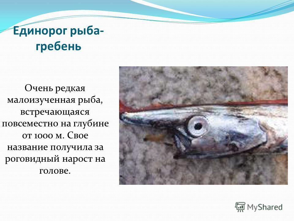 Единорог рыба- гребень Очень редкая малоизученная рыба, встречающаяся повсеместно на глубине от 1000 м. Свое название получила за роговидный нарост на голове.