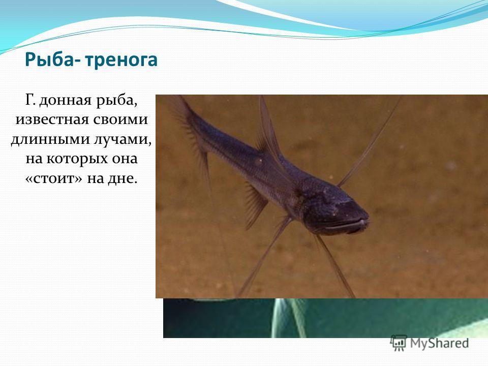Рыба- тренога Г. донная рыба, известная своими длинными лучами, на которых она «стоит» на дне.