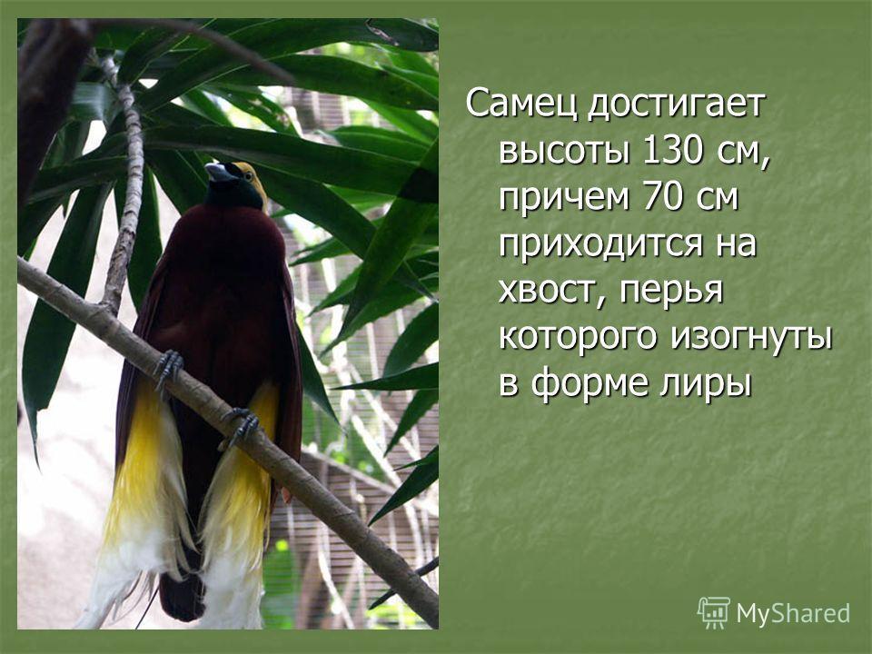 Самец достигает высоты 130 см, причем 70 см приходится на хвост, перья которого изогнуты в форме лиры