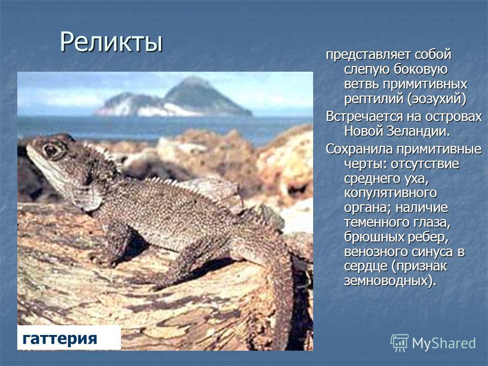 Реликты представляет собой слепую боковую ветвь примитивных рептилий (эозухий) Встречается на островах Новой Зеландии. Сохранила примитивные черты: отсутствие среднего уха, копулятивного органа; наличие теменного глаза, брюшных ребер, венозного синус