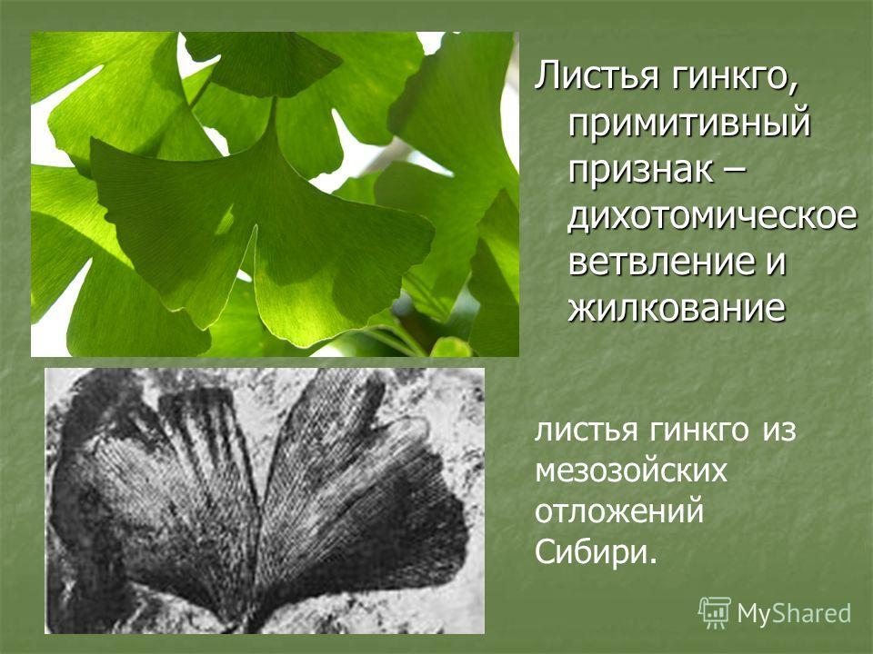 Листья гинкго, примитивный признак – дихотомическое ветвление и жилкование листья гинкго из мезозойских отложений Сибири.