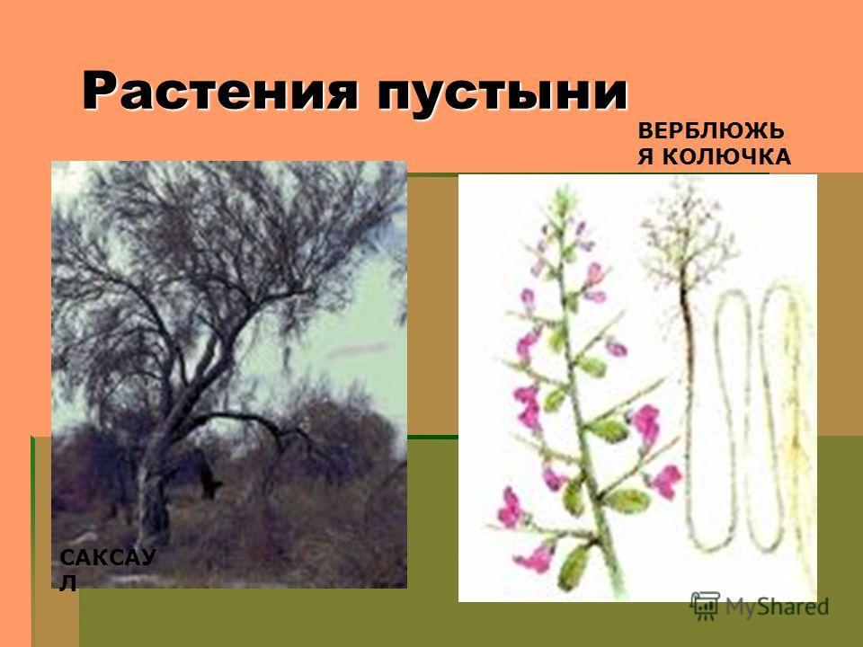 Растения пустыни САКСАУ Л ВЕРБЛЮЖЬ Я КОЛЮЧКА