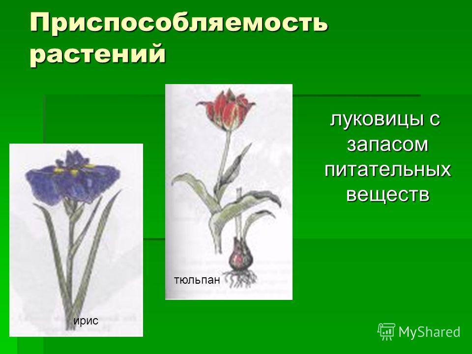 Приспособляемость растений луковицы с запасом питательных веществ луковицы с запасом питательных веществ ирис тюльпан