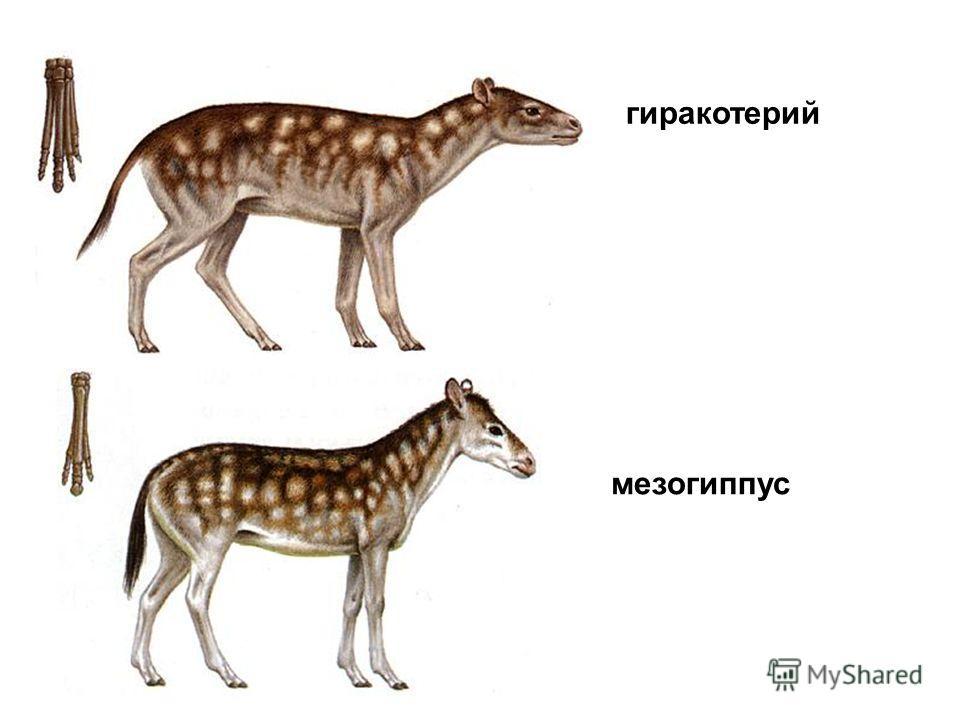 гиракотерий мезогиппус