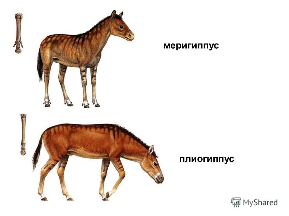 меригиппус плиогиппус