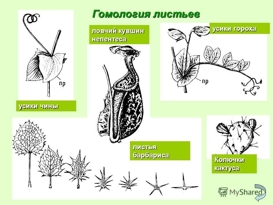 Гомология листьев усики чины ловчий кувшин непентеса усики гороха листья барбариса Колючки кактуса