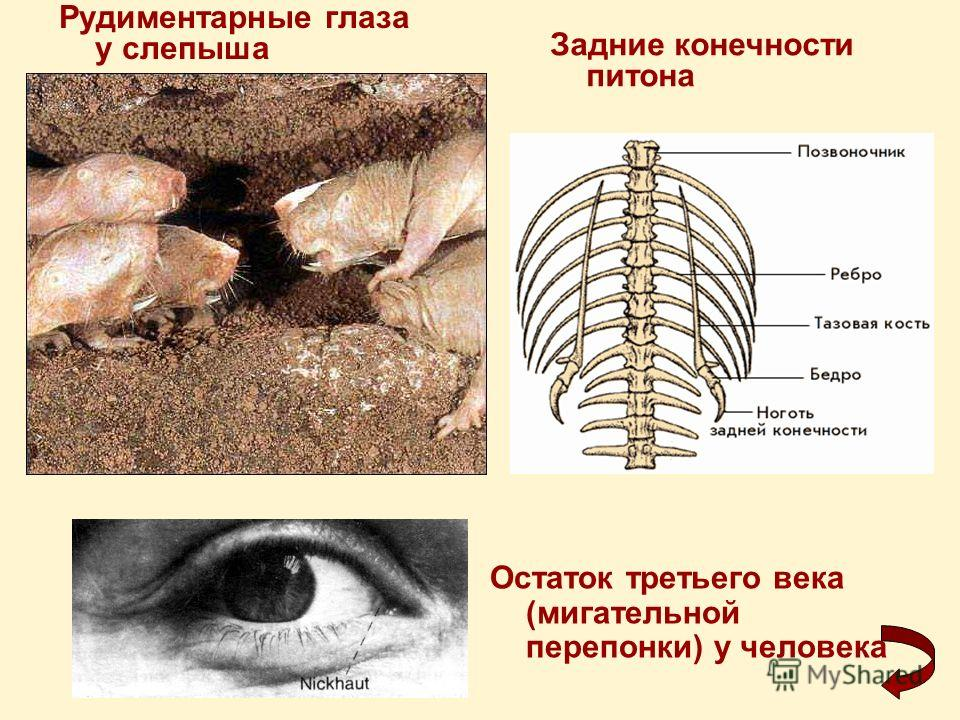 Рудиментарные глаза у слепыша Задние конечности питона Остаток третьего века (мигательной перепонки) у человека