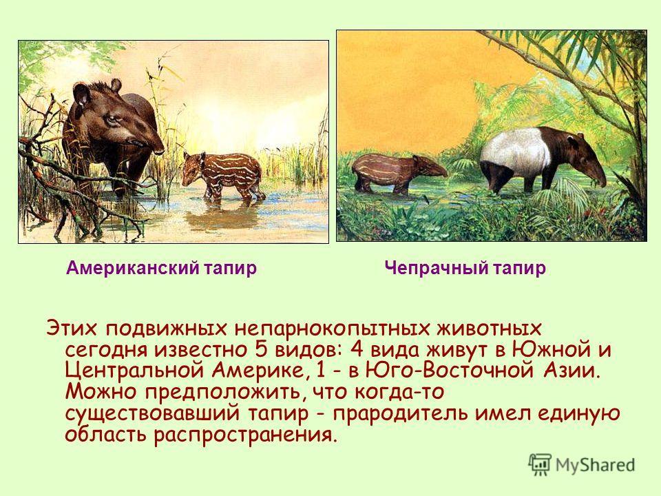 Этих подвижных непарнокопытных животных сегодня известно 5 видов: 4 вида живут в Южной и Центральной Америке, 1 - в Юго-Восточной Азии. Можно предположить, что когда-то существовавший тапир - прародитель имел единую область распространения. Американс
