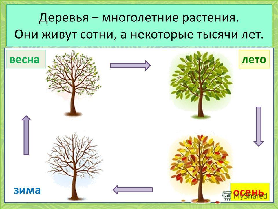 Деревья – многолетние растения. Они живут сотни, а некоторые тысячи лет. зима весналето осень