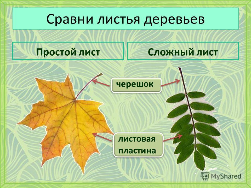 Сравни листья деревьев Простой листСложный лист черешок листовая пластина