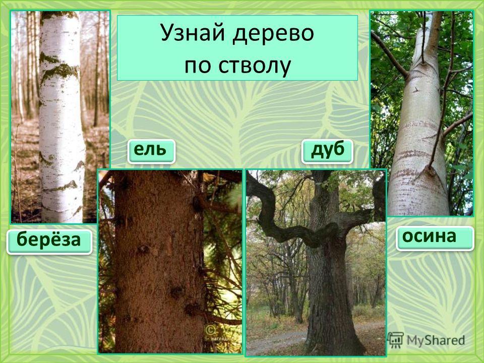 Узнай дерево по стволу берёза осина ельдуб