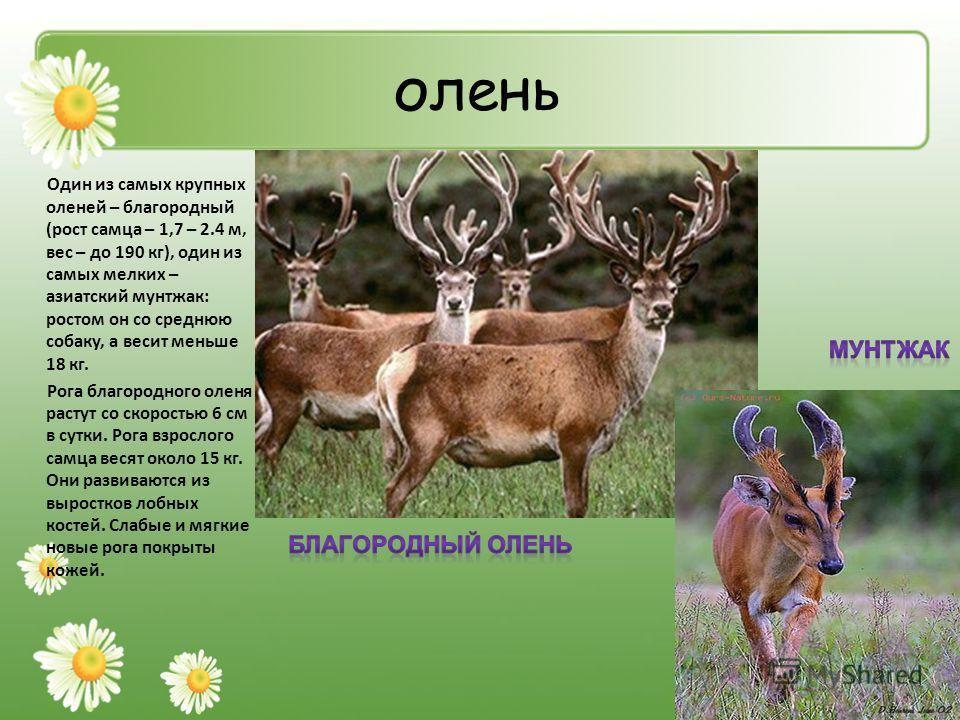 олень Один из самых крупных оленей – благородный (рост самца – 1,7 – 2.4 м, вес – до 190 кг), один из самых мелких – азиатский мунтжак: ростом он со среднюю собаку, а весит меньше 18 кг. Рога благородного оленя растут со скоростью 6 см в сутки. Рога