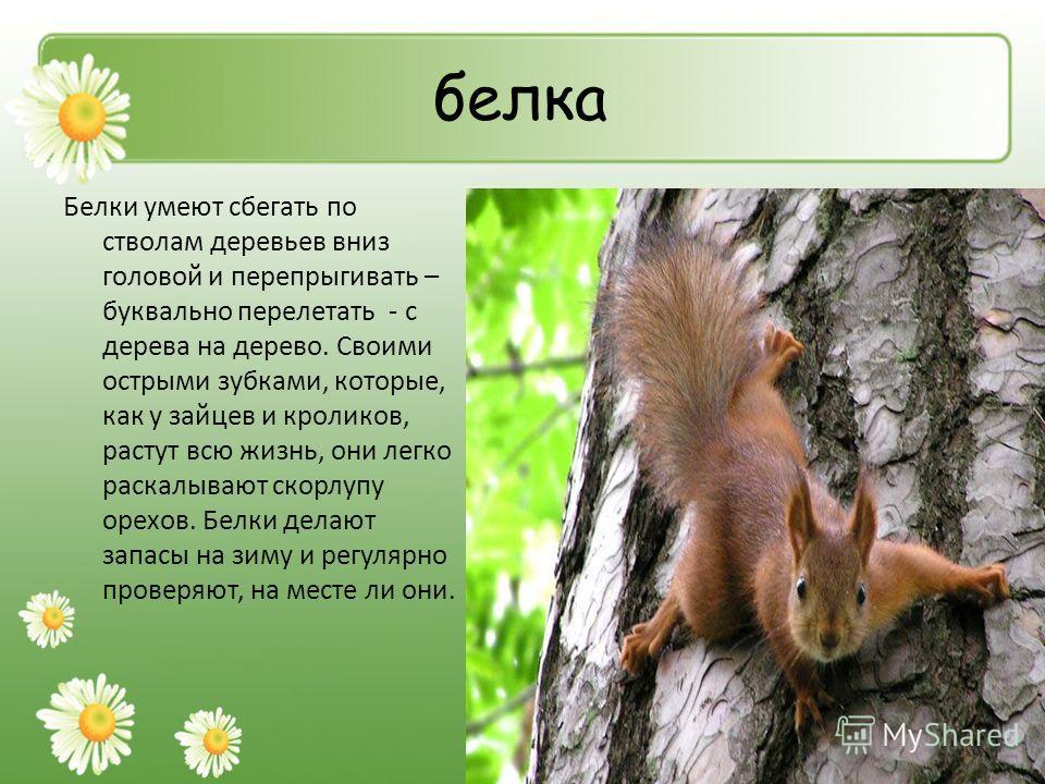 белка Белки умеют сбегать по стволам деревьев вниз головой и перепрыгивать – буквально перелетать - с дерева на дерево. Своими острыми зубками, которые, как у зайцев и кроликов, растут всю жизнь, они легко раскалывают скорлупу орехов. Белки делают за