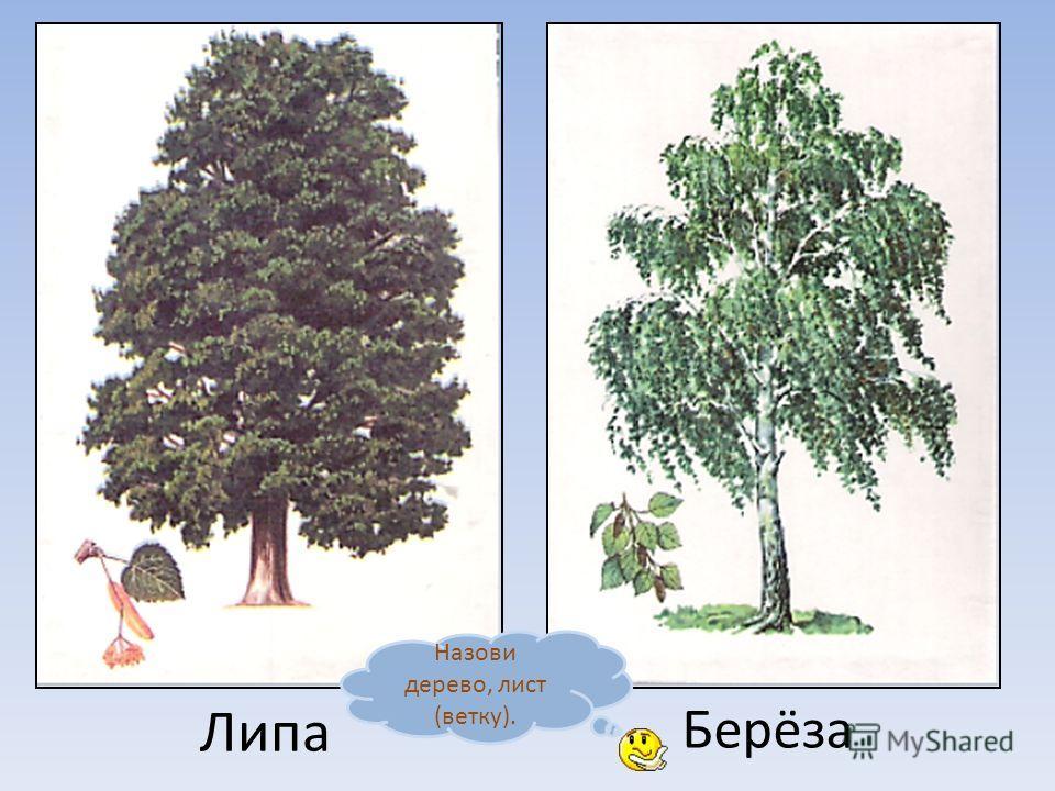 Осина Клён Назови дерево, лист (ветку).