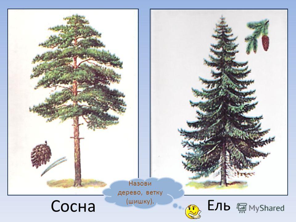 Берёза Липа Назови дерево, лист (ветку).