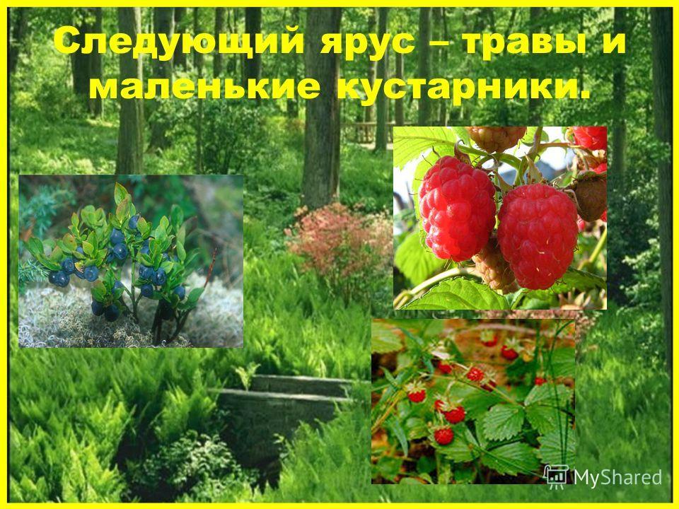 Следующий ярус – травы и маленькие кустарники.