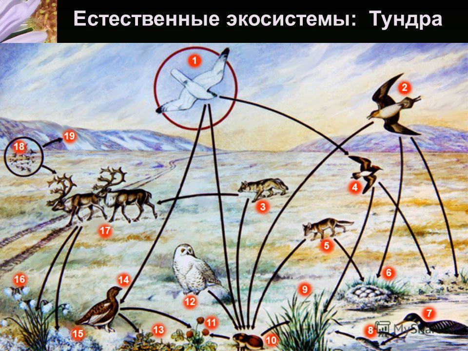 Естественные экосистемы: Тундра