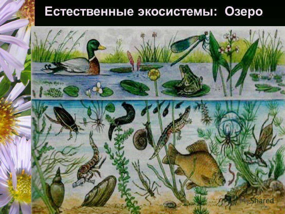 Естественные экосистемы: Озеро