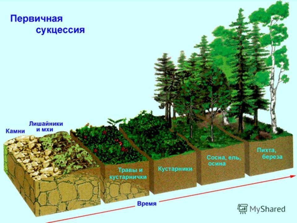 Этапы первичной сукцессии: Выветривание горных пород Заселение бактерий, водорослей, накипных лишайников и образование почвы Поселение мхов, листовых лишайников Появление травянистых растений- формирование сообщества Поселение кустарников Лес- устойч