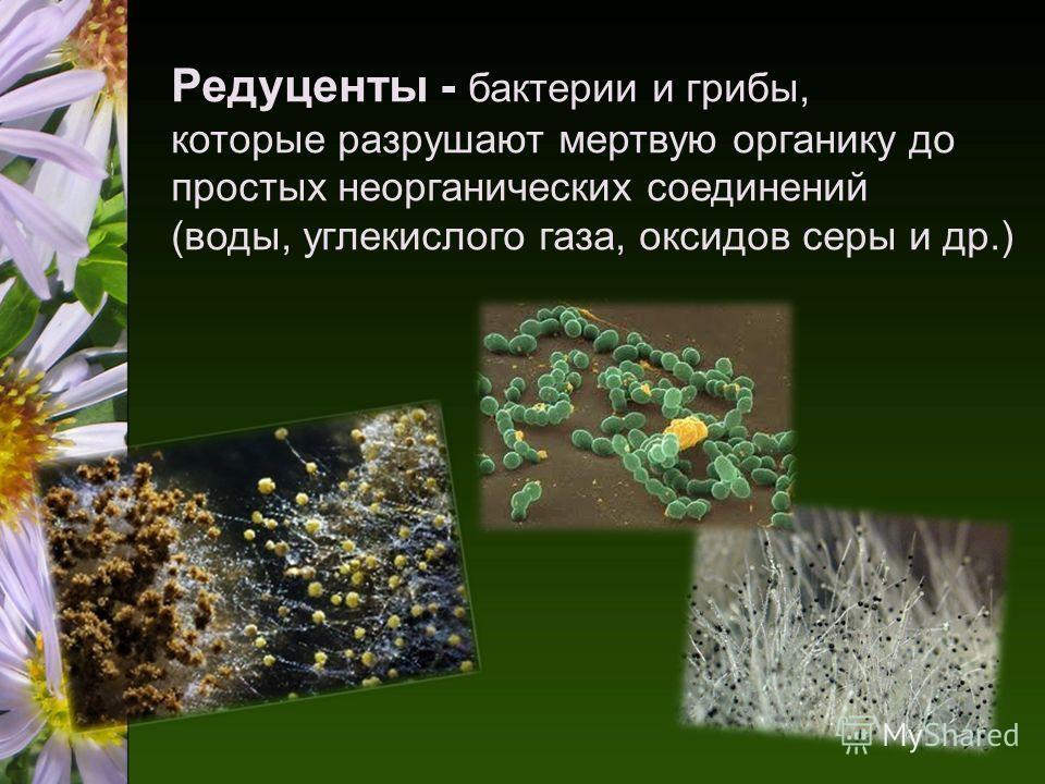 Редуценты - бактерии и грибы, которые разрушают мертвую органику до простых неорганических соединений (воды, углекислого газа, оксидов серы и др.)