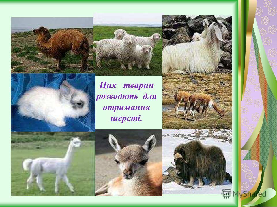 Цих тварин розводять для отримання шерсті.