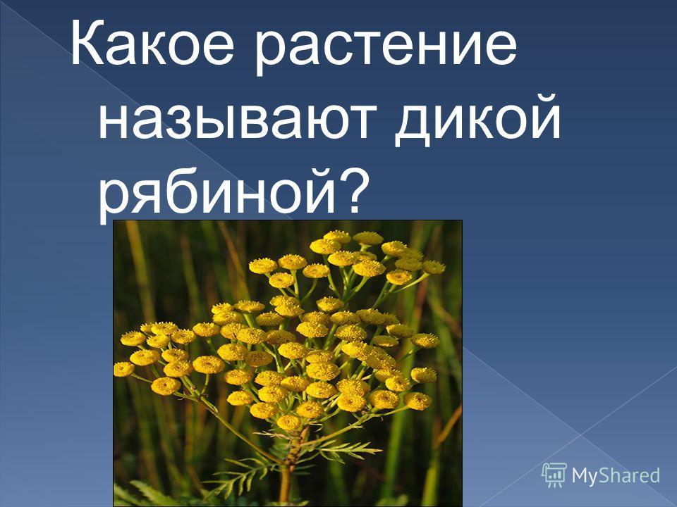 Какое растение называют дикой рябиной?
