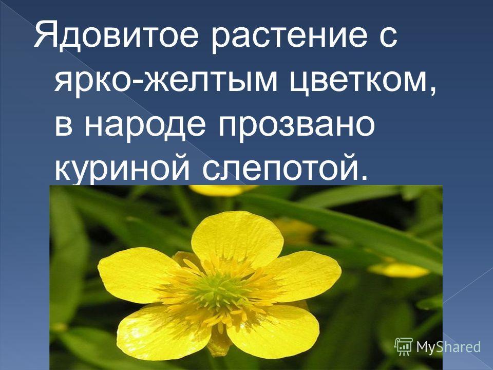 Ядовитое растение с ярко-желтым цветком, в народе прозвано куриной слепотой.