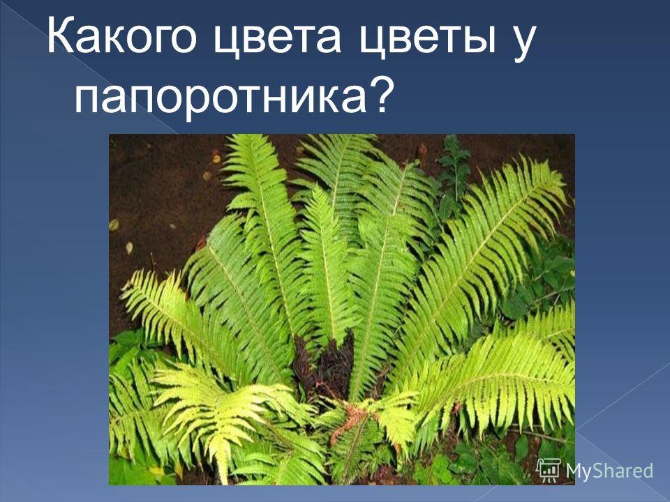 Какого цвета цветы у папоротника?