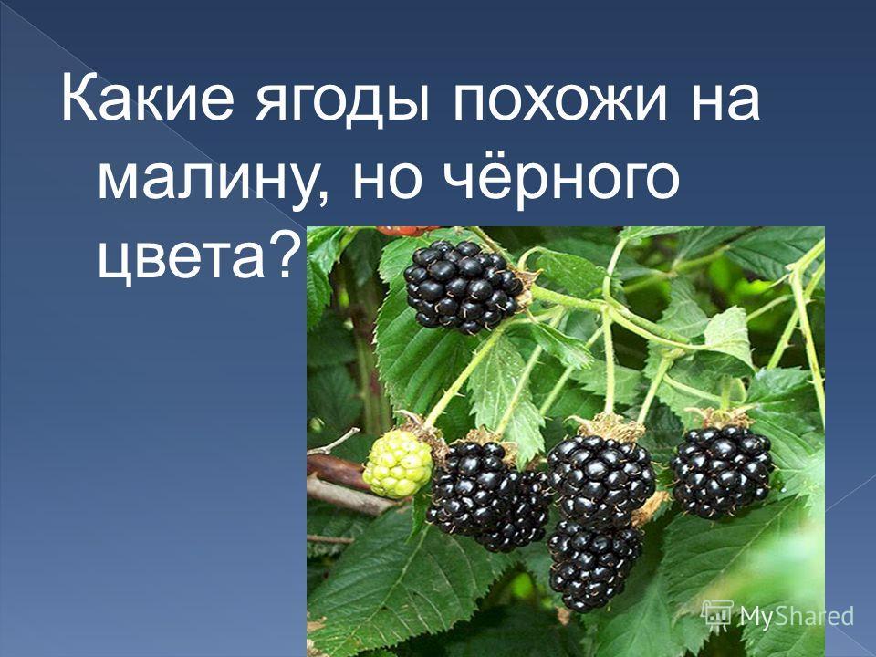 Какие ягоды похожи на малину, но чёрного цвета?