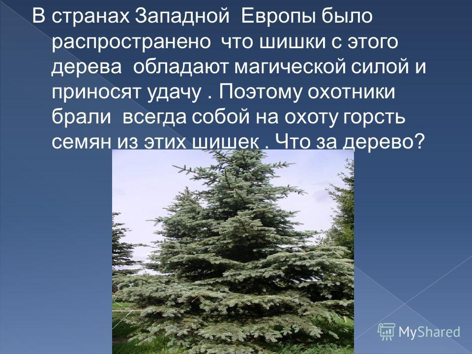 В странах Западной Европы было распространено что шишки с этого дерева обладают магической силой и приносят удачу. Поэтому охотники брали всегда собой на охоту горсть семян из этих шишек. Что за дерево?