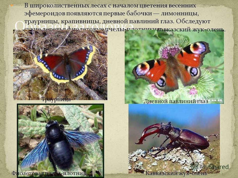 Образец заголовка В широколиственных лесах с началом цветения весенних эфемероидов появляются первые бабочки лимонницы, траурницы, крапивницы, дневной павлиний глаз. Обследуют сухие деревья фиолетовые пчелы-плотники и кавказский жук-олень. Траурница