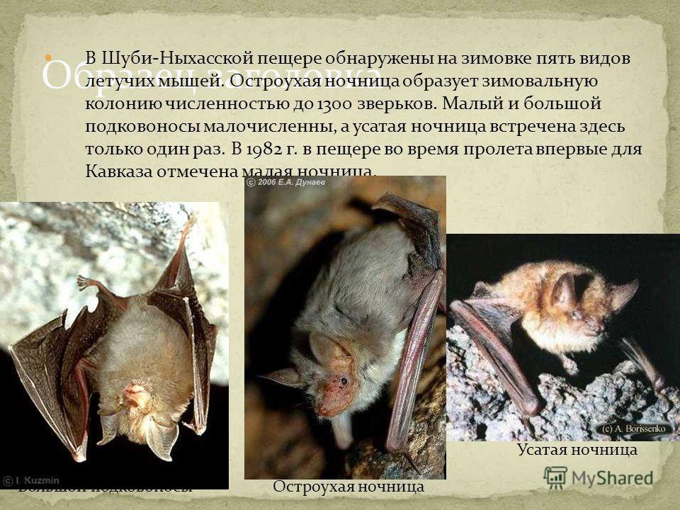 Образец заголовка В Шуби-Ныхасской пещере обнаружены на зимовке пять видов летучих мышей. Остроухая ночница образует зимовальную колонию численностью до 1300 зверьков. Малый и большой подковоносы малочисленны, а усатая ночница встречена здесь только