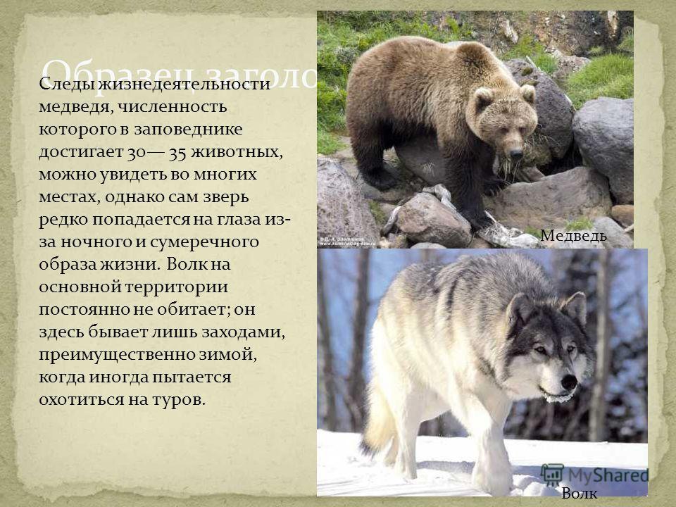 Образец заголовка Следы жизнедеятельности медведя, численность которого в заповеднике достигает 30 35 животных, можно увидеть во многих местах, однако сам зверь редко попадается на глаза из- за ночного и сумеречного образа жизни. Волк на основной тер