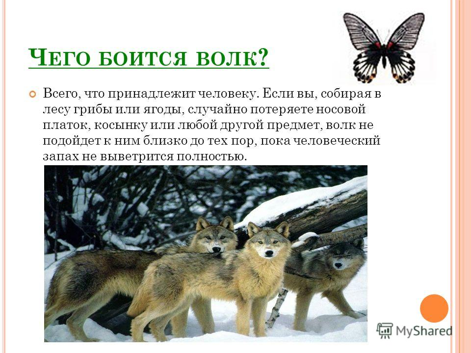 Ч ЕГО БОИТСЯ ВОЛК ? Всего, что принадлежит человеку. Если вы, собирая в лесу грибы или ягоды, случайно потеряете носовой платок, косынку или любой другой предмет, волк не подойдет к ним близко до тех пор, пока человеческий запах не выветрится полност