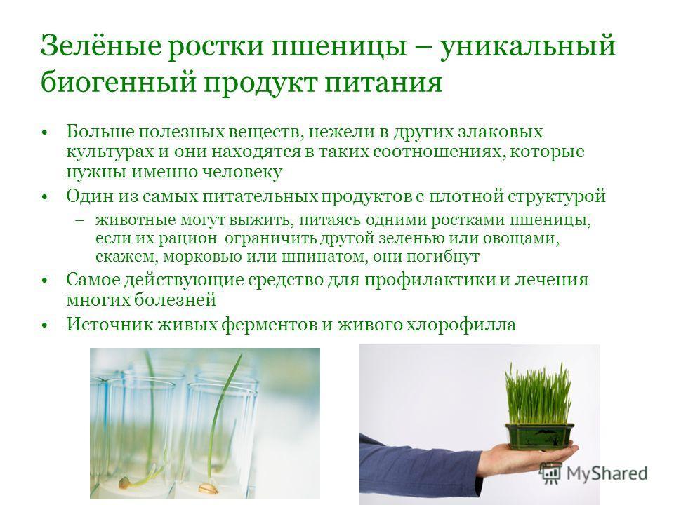 Зелёные ростки пшеницы – уникальный биогенный продукт питания Больше полезных веществ, нежели в других злаковых культурах и они находятся в таких соотношениях, которые нужны именно человеку Один из самых питательных продуктов с плотной структурой –жи