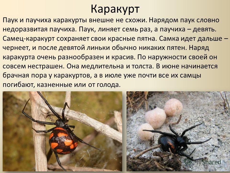 Каракурт Паук и паучиха каракурты внешне не схожи. Нарядом паук словно недоразвитая паучиха. Паук, линяет семь раз, а паучиха – девять. Самец-каракурт сохраняет свои красные пятна. Самка идет дальше – чернеет, и после девятой линьки обычно никаких пя