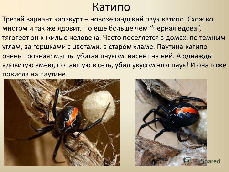 Катипо Третий вариант каракурт – новозеландский паук катипо. Схож во многом и так же ядовит. Но еще больше чем черная вдова, тяготеет он к жилью человека. Часто поселяется в домах, по темным углам, за горшками с цветами, в старом хламе. Паутина катип