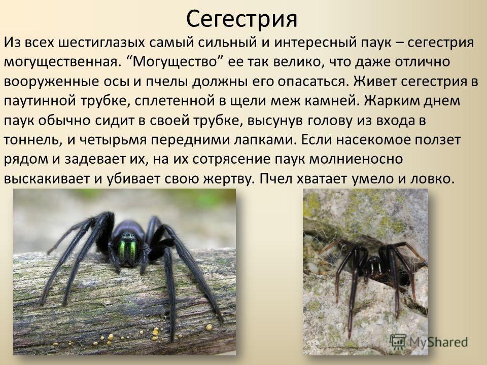 Сегестрия Из всех шестиглазых самый сильный и интересный паук – сегестрия могущественная. Могущество ее так велико, что даже отлично вооруженные осы и пчелы должны его опасаться. Живет сегестрия в паутинной трубке, сплетенной в щели меж камней. Жарки