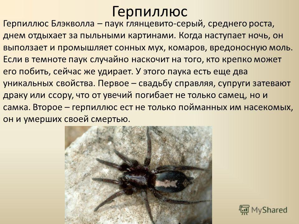 Герпиллюс Герпиллюс Блэкволла – паук глянцевито-серый, среднего роста, днем отдыхает за пыльными картинами. Когда наступает ночь, он выползает и промышляет сонных мух, комаров, вредоносную моль. Если в темноте паук случайно наскочит на того, кто креп